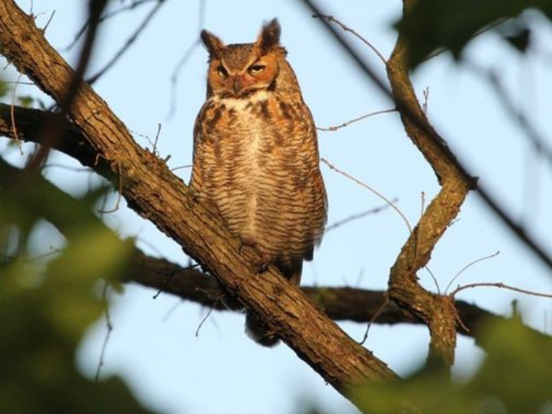 Forest Park Owls: Hiding In Plain Sight